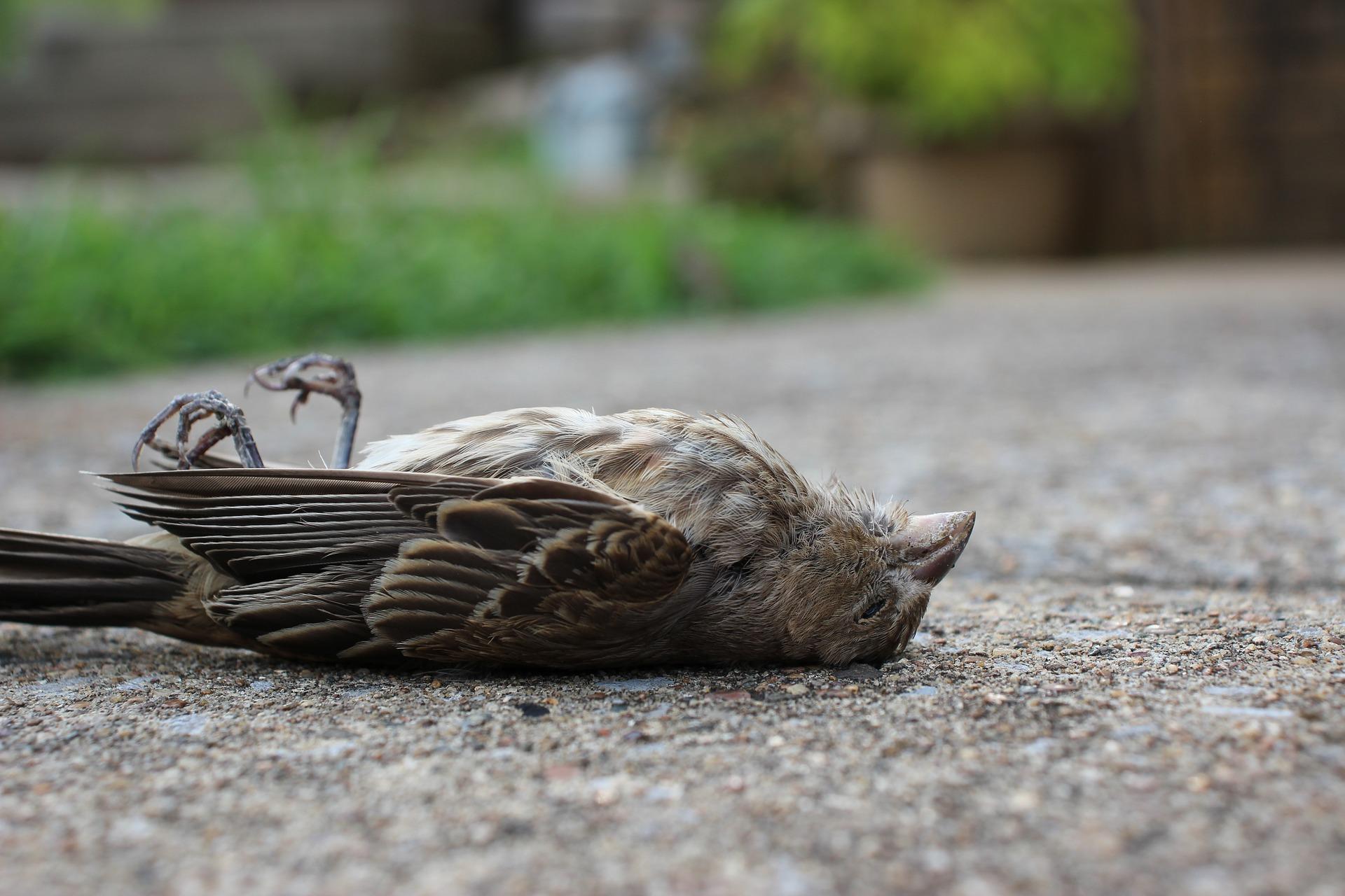 gorrión, aves, aves de ciudad, donde se han ido los gorriones, que está pasando con los gorriones, por qué mueren los gorriones.