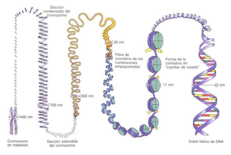 Niveles de condensación del ADN