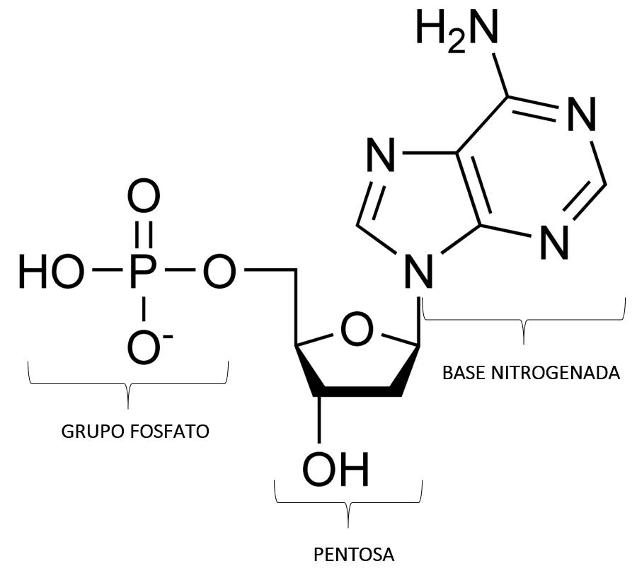 Estructura molecular de un nucleótido