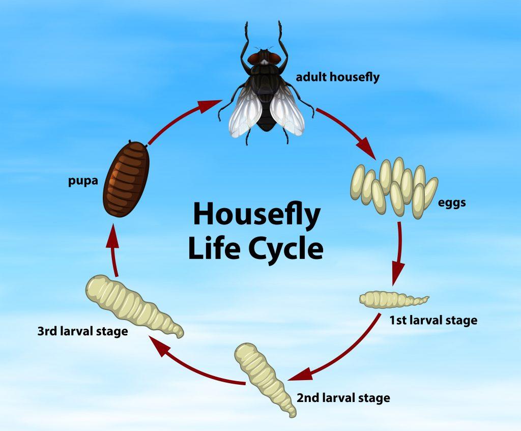 Ciclo vital de la mosca usado en entomología forense.