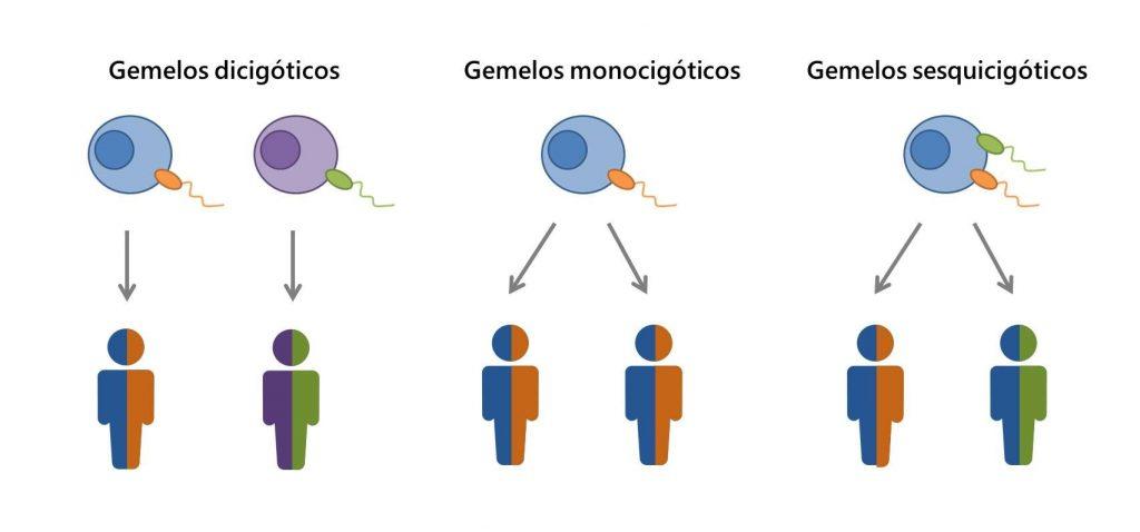 Descripción de las formas de fecundación que originan los distintos tipos de gemelos.