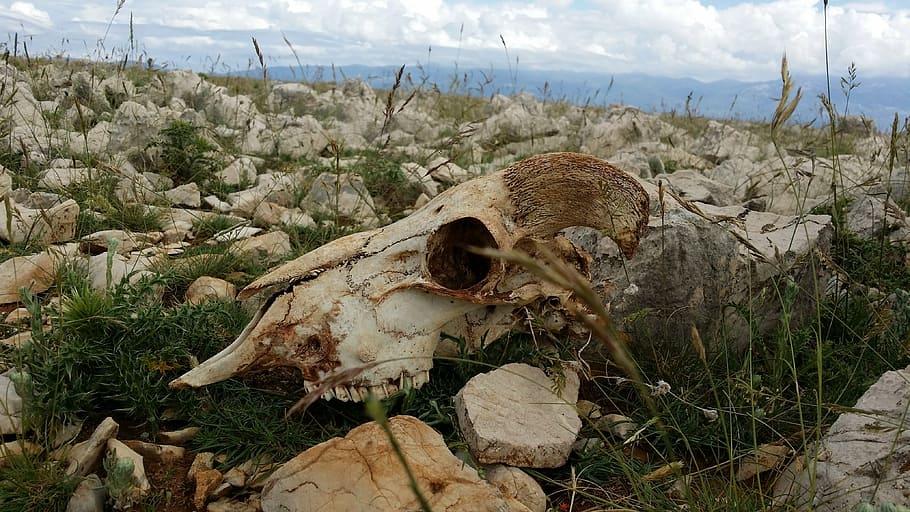 Cadáver de una oveja (cráneo oveja).