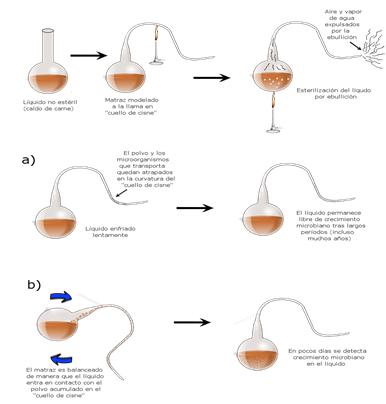 """El experimento con matraces """"cuellos de cisne"""" que realizó el bateriólogo frances Louis Pasteur refutó finalmente la tan arraigada hasta entonces teoría de la generación espontánea."""