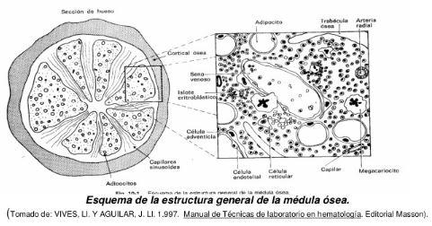 El proceso de la hematopoyesis,e s decir, el proceso de formación de las células sanguíneas comienza en la médula ósea, pero participan otros órganos como el bazo y el timo.