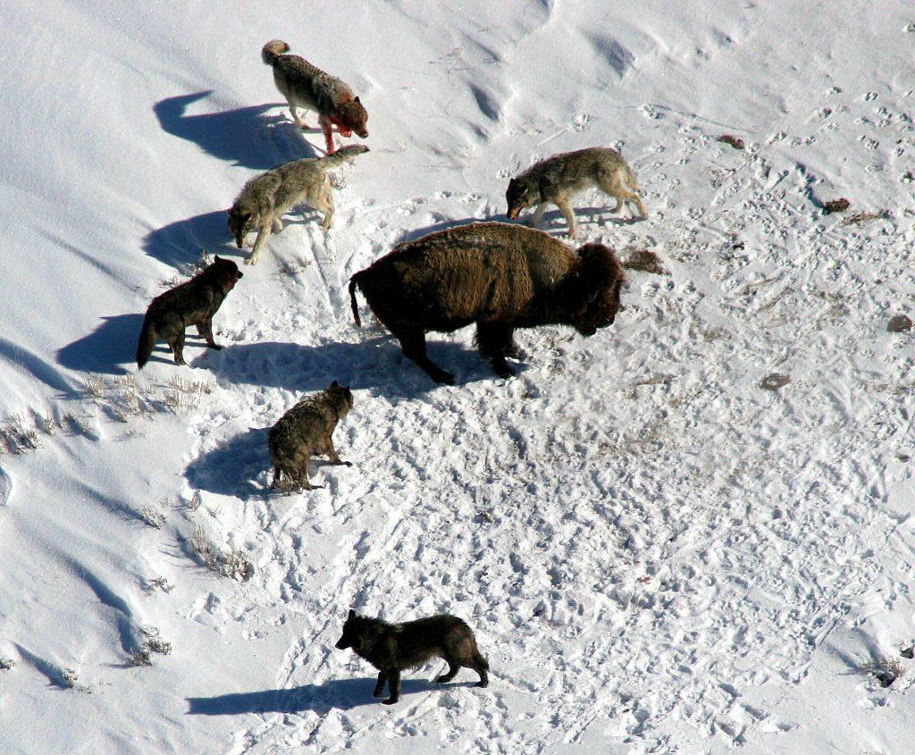 El lobo o canis lupus es un cánido que juega un papel muy importante a la hora de controlar la población de herbívoros de gran tamaño, como son los ungulados.