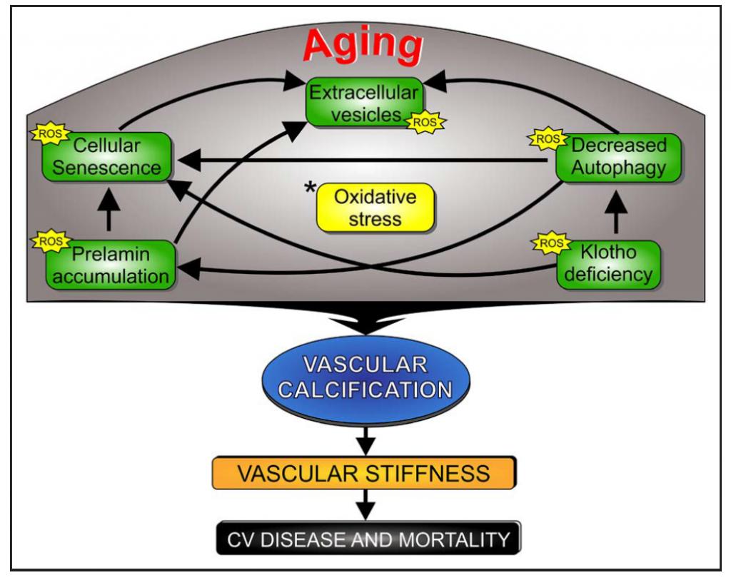 Mecanismos de calcificación vascular.