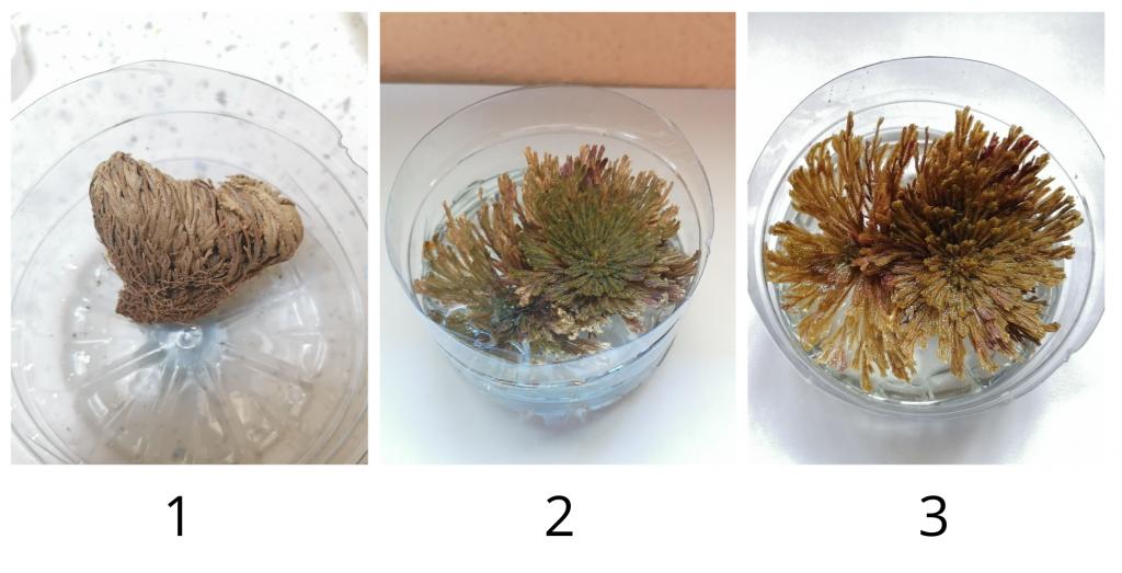 Evolución a lo largo del tiempo de Sellaginella lepidophyla cuando hidratamos