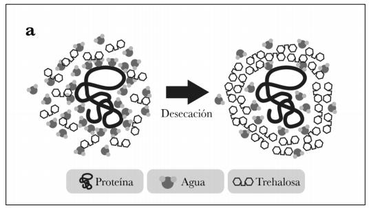 Modo de acción de la trehalosa cuando el agua de la planta se evapora