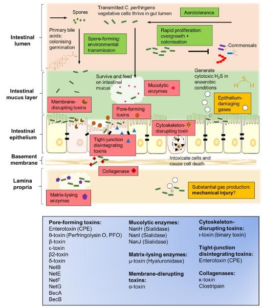 Imagen donde se detallan las diferentes vías de acción de las toxinas y enzimas excretadas por la bacteria Clostridium perfringens. Las toxinas beta y epsilon son formadoras de poros, y son causantes de la patología de la basquilla.