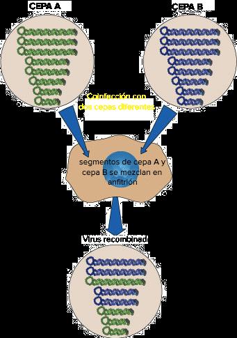 Reordenamientos genéticos en virus