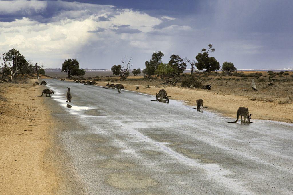 Los canguros son un ejemplo de adaptación del comportamiento animal para sobrevivir a un ecosistema cada vez más perjudicial .