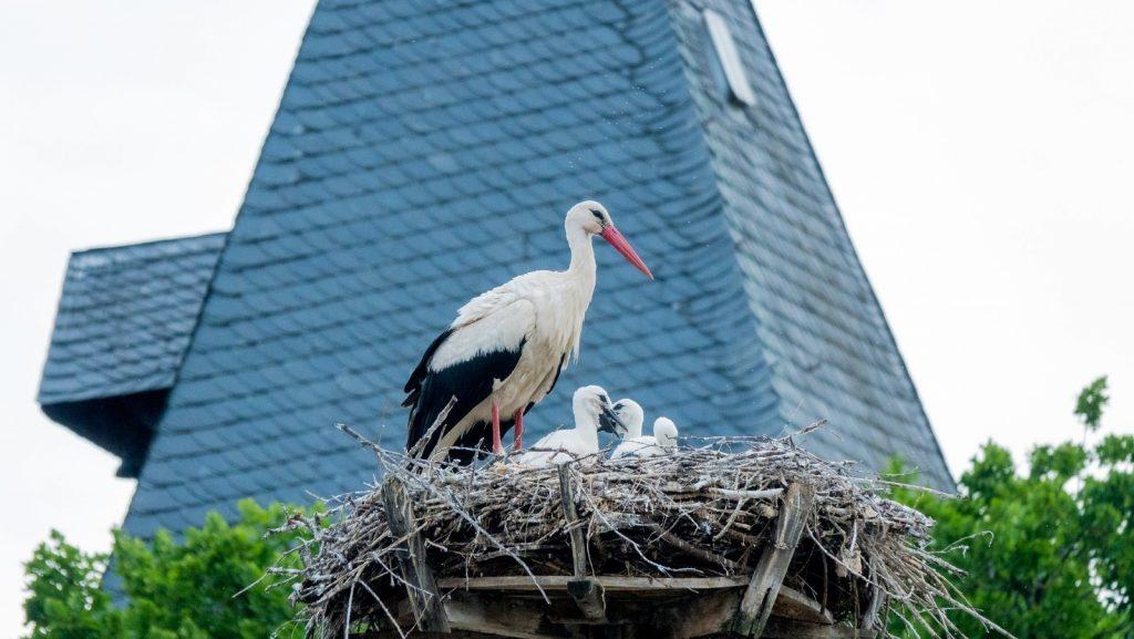 La cigüeña es una de las aves más adaptadas a las zonas urbanas.