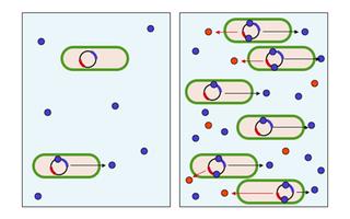 La densidad bacteriana y la concentración de proteínas autoinductoras en el fenomeno del quorum sensing son directamente proporcionales.