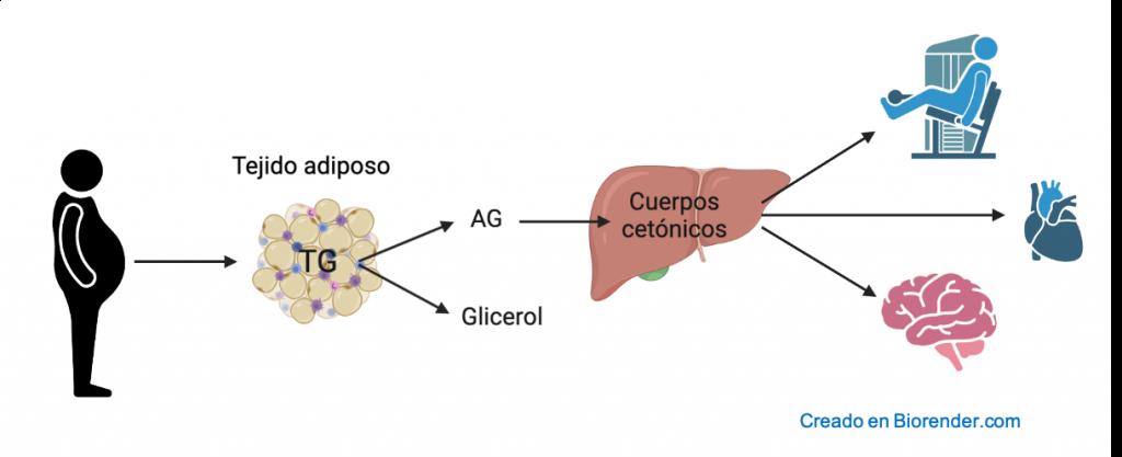 El método del ayuno intermitente más conocido es el de restricción horaria. Uno de los efectos más importantes de este tipo de dietas es la movilización de los triglicéridos almacenados en los adipocitos del tejido adiposo. De esta manera, el cuerpo produce cuerpos cetónicos que son utilizados como fuente de energía por parte de nuestras células.